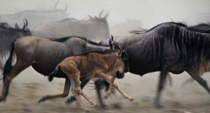 wildebeest-850x459