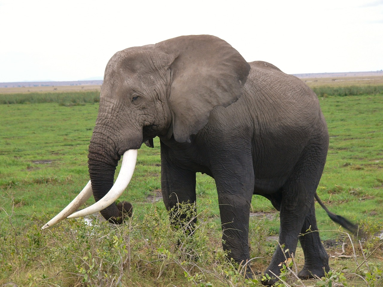 an elephant one of the big 5 seen on amboseli safari