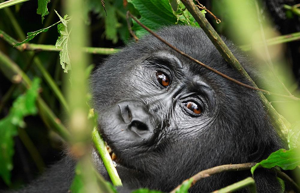Bwindi Impenetrable Forest Safari