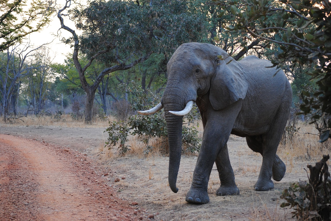 an elephant in south luangwa national park zambia