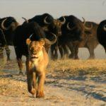 botswana zimbabwe safari