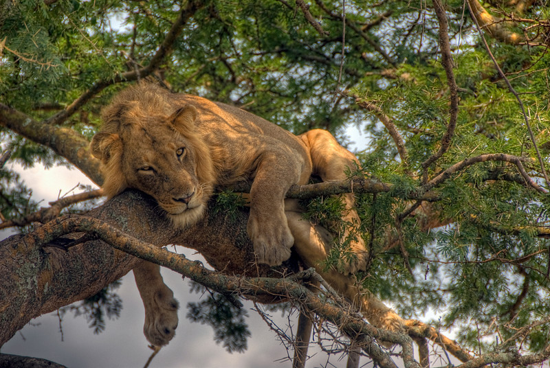 4 Day Tree Climbing Lions and Chimps